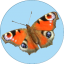 Badge 2018-08 PeacockButterfly.png