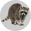 Badge Raccoon.png